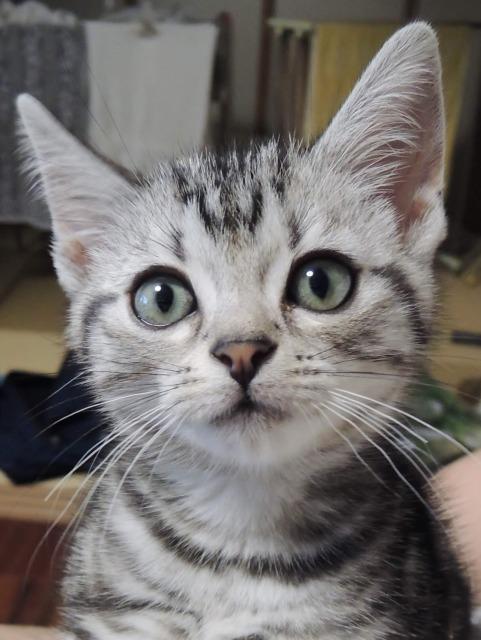 アメリカンショートヘアのシルバータビーの子猫