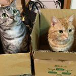 ふたり(二匹の猫)との出会い【その2】 子猫アメショがやってきた!!
