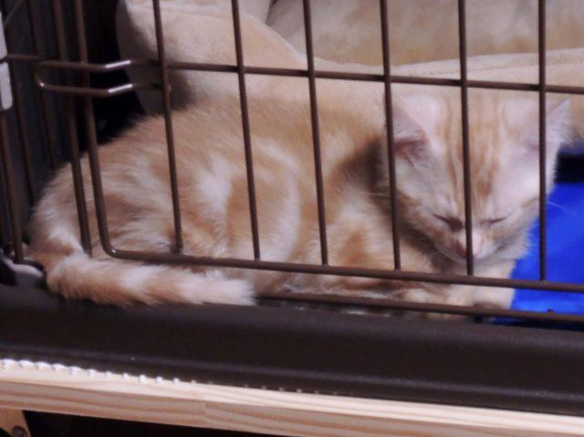 ゲージで眠るカメオタビーの子猫
