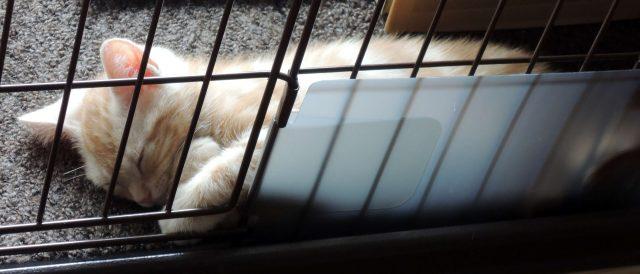 ケージで眠るカメオタビーの子猫