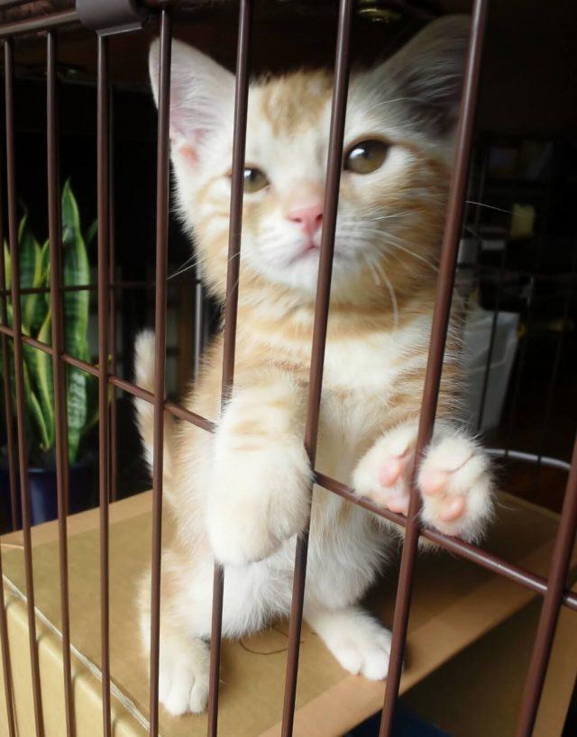 ケージの中のカメオタビーの子猫