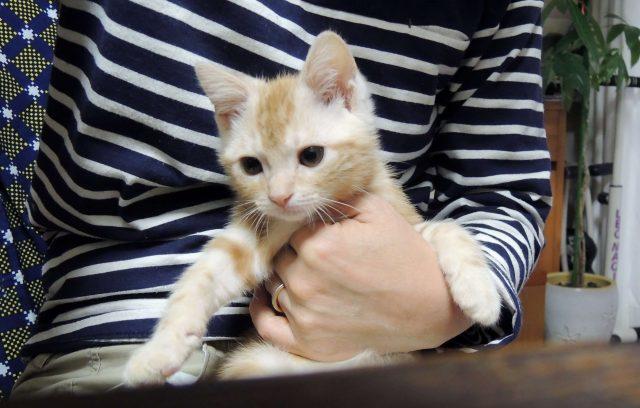 アメリカンショートヘアのカメオタビーの子猫