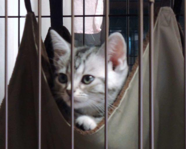 ゲージの中のアメリカンショートヘアのシルバータビーの子猫