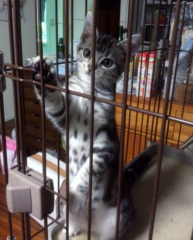 ケージの中のシルバータビーの子猫