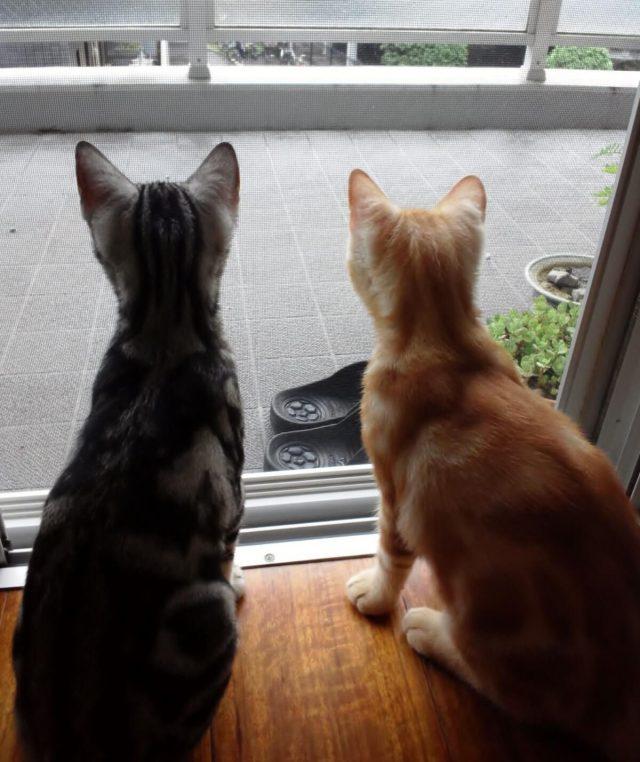 二匹のアメリカンショートヘアの子猫