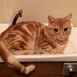 びしょ濡れアメショ 我が家の猫達は水遊びが大好き