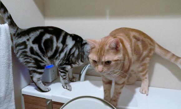 トイレで遊ぶ二匹のアメリカンショートヘア