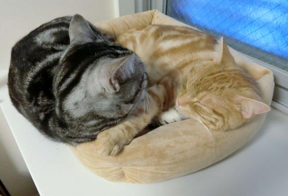 猫用ベッドで二匹で眠るアメリカンショートヘア