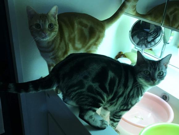 洗面所で水遊びをするアメリカンショートヘアのシルバータビーのソラとカメオタビーのチャロ