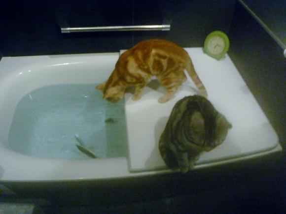 お風呂で楽しむアメリカンショートヘアのシルバータビーのソラとカメオタビーのチャロ