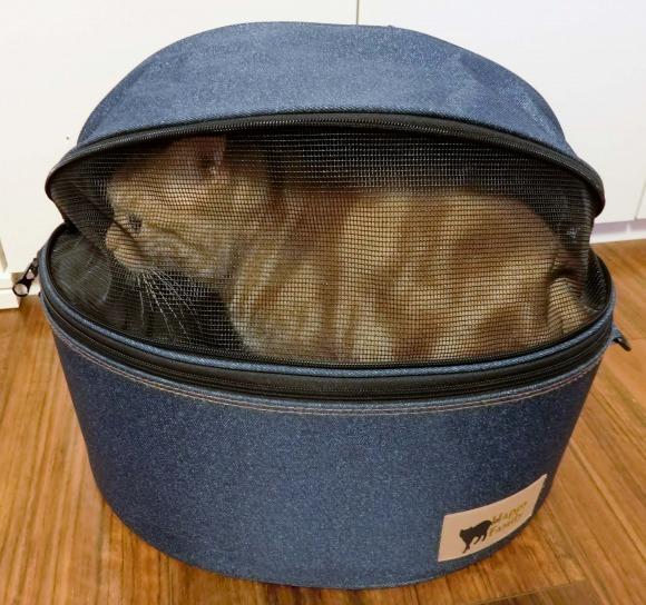 猫用のキャリーバッグに入るアメリカンショートヘアのカメオタビーのチャロ